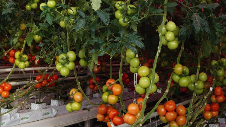 gurken und tomaten zusammen im gewächshaus