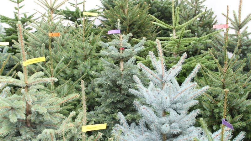 Weihnachtsbaum Natürlich.Verband Natürlicher Weihnachtsbaum Gegründet Gabot De