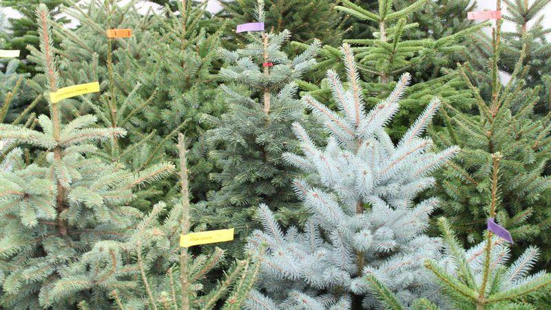 Tannenarten Weihnachtsbaum.Weihnachtsbäume Ernte Ist Gut Bis Sehr Gut Gabot De