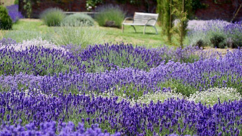 Lavendel: Was hat er, was andere nicht haben? | Gabot.de