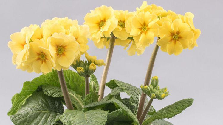 sibel® english cream Primula polyantha – F1-Hybriden.