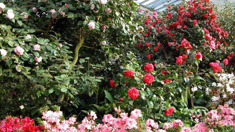 Botanischer Garten Berlin Kamelienblüte Auf Dem Höhepunkt Gabotde
