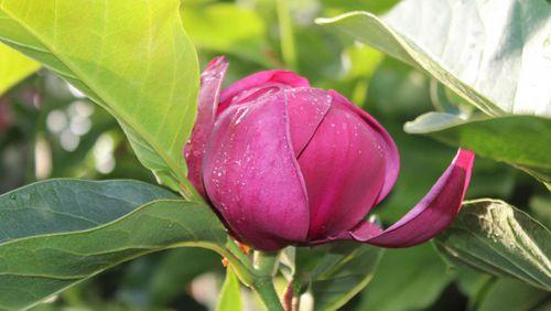 schwerter pflanzen neues magnolien sortiment. Black Bedroom Furniture Sets. Home Design Ideas
