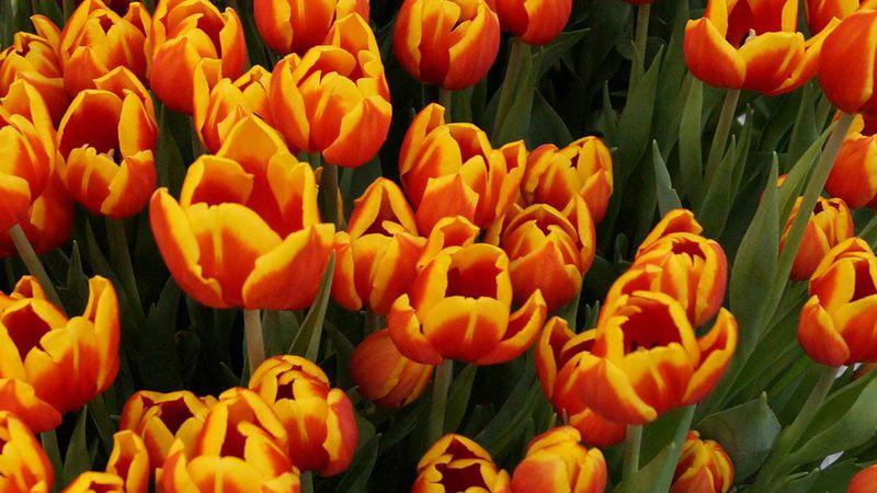 Tulpen. Bild: GABOT.