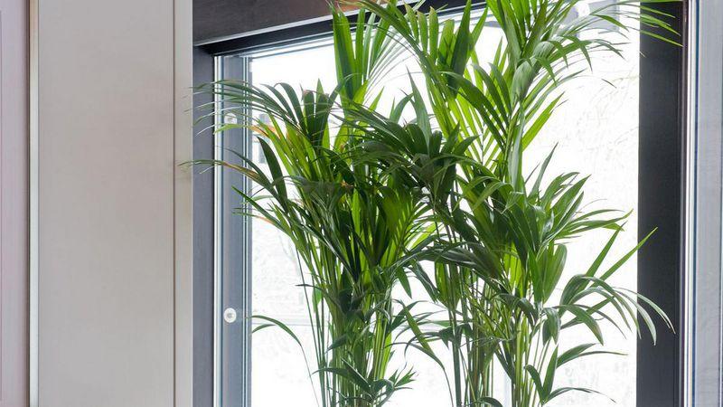 Kentia-Palme: Pazifikschönheit für Einsteiger | Gabot.de