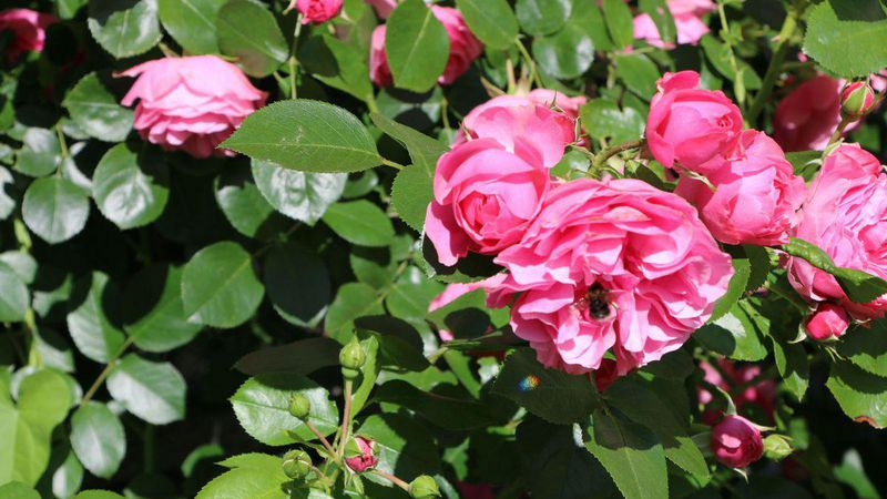 natur im garten rosen gut ber den winter bringen. Black Bedroom Furniture Sets. Home Design Ideas