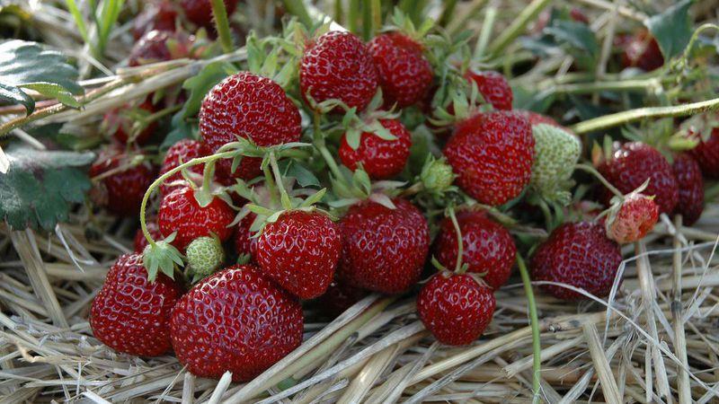 Ganz und zu Extrem Wunder-Erdbeere: Das waren noch Zeiten... | Gabot.de #RW_76