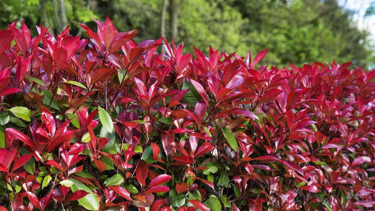 Photinia Devil's Dream von Behrens Pflanzen. Devil's Dream®.