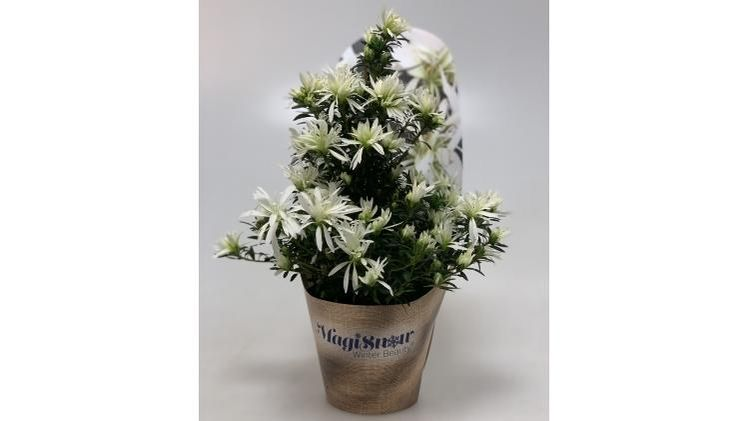Hortinno® Magisnow 'Winter Beauty'®. Bild: Hortinno.
