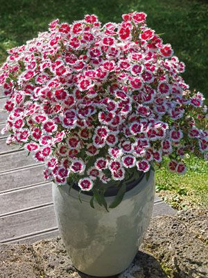 Dianthus-SummerDiamonds-Ruby-Picotee.
