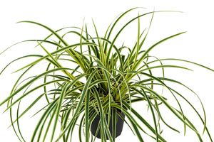 Carex-morrowii-Vanilla-Ice.
