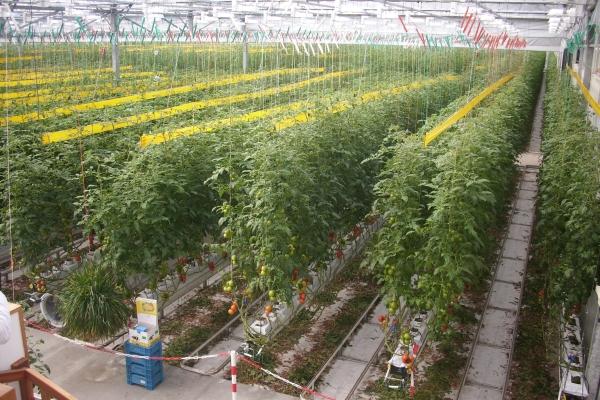 Niederlande Mehr Tomaten Aus Dem Gewachshaus Gabot De