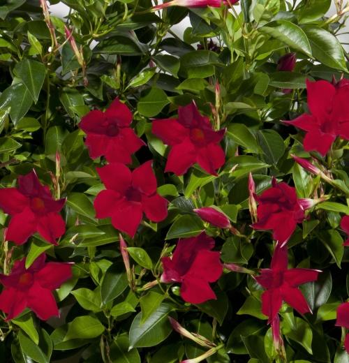Selecta stellt sortenneuheiten auf den flowertrials 2014 for Dipladenia sanderi