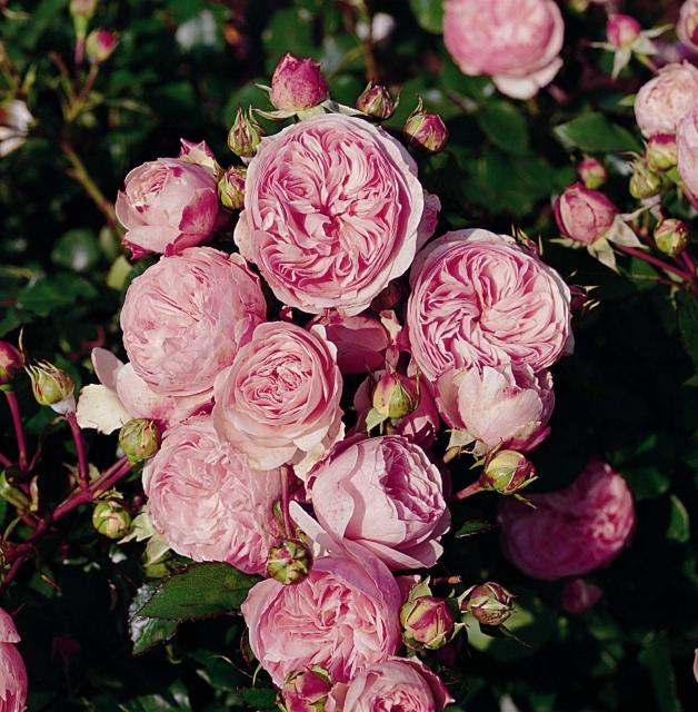 extrem stark duftende rosen stark duftende strauchrose in nachbars garten bild foto von hans. Black Bedroom Furniture Sets. Home Design Ideas