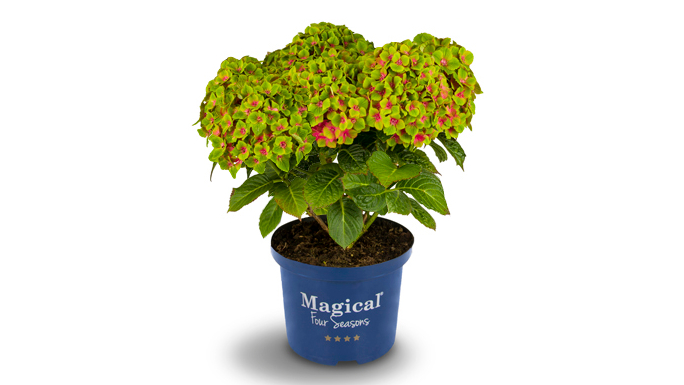 Die neue Gartenhortensie Magical Green Delight. Bild: Magical Four Seasons.