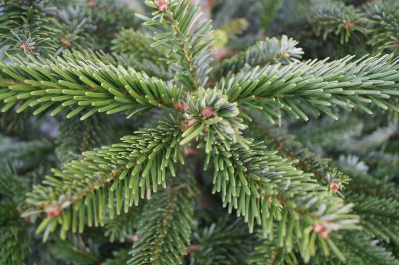 Weihnachtsbaum Ast.Bund Naturschutz Wirbt Für Bio Weihnachtsbäume Gabot De